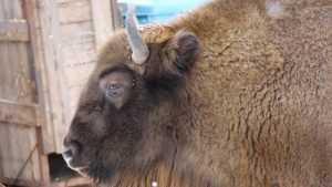 Заповедник «Брянский лес» пригласил на экскурсии к зубрам