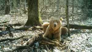 Хозяин брянского леса медведь Арсений опять объявился в заповеднике