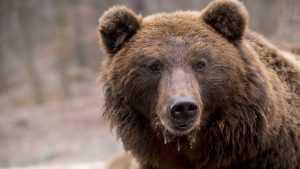 В сети появились жуткие кадры с медведем, который растерзал 15-летнего мальчика