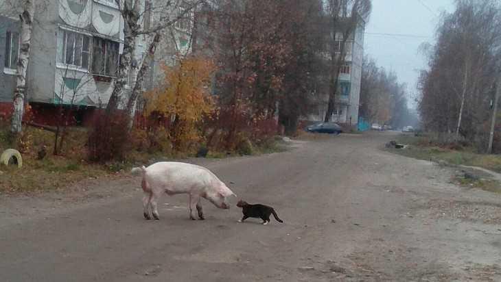 В Бежице сфотографировали встречу на улице кота и поросенка