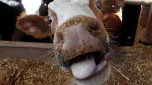 На домашовской ферме под Брянском скрыли падеж коров