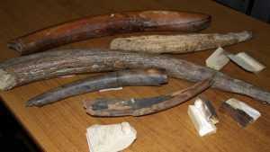 Брянские таможенники нашли в поезде окаменевших моллюсков и бивни мамонта
