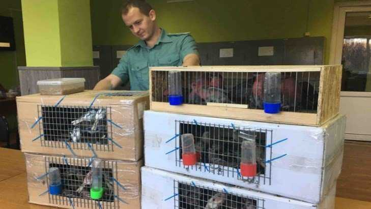 Таможенники Брянска не позволили вывезти из России 115 птиц