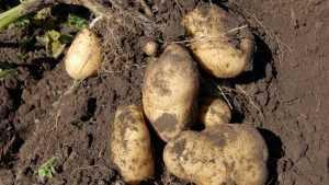 В Брянской области собрали рекордный урожай картофеля