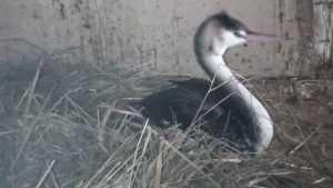 Брянская семья взяла на постой черного лебедя из Москвы