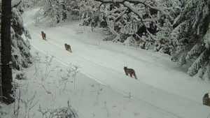 Рысь с тремя рысятами сняла видеокамера в брянском лесу