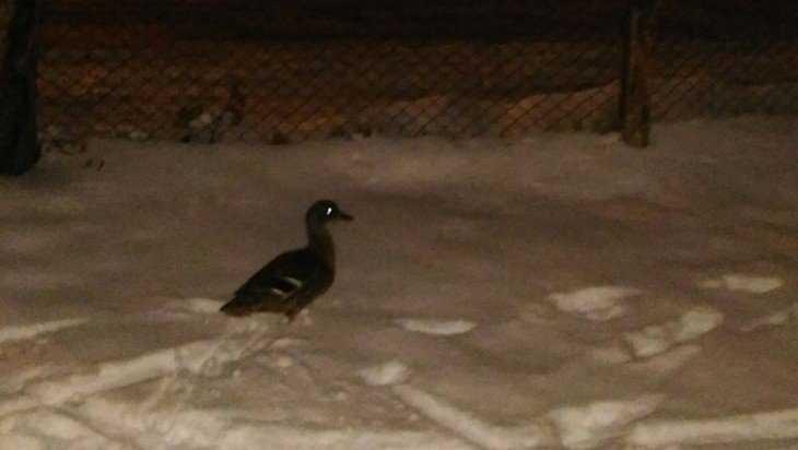 В Брянске сфотографировали дикую утку на снегу