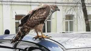 В Брянске сфотографировали хищную птицу на автомобиле