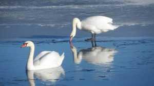 В Навлинском районе на озере остались зимовать два лебедя