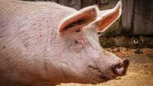 Ученые научились бороться с бактериями и микробами с помощью свиней