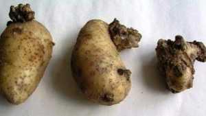 В Брянской области выявили зараженный раком картофель