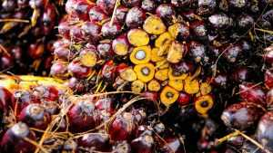 Россия закупила миллион тонн пальмового масла