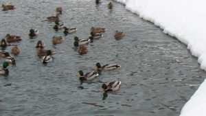 Жители Почепа стали подкармливать оставшихся зимовать уток