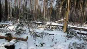 Полиция обвинила 57-летнего брянца в вырубке елей на 800 тысяч рублей