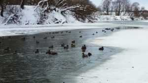 В Брянске пересчитали оставшихся на зимовку птиц