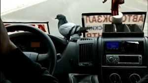 Голубь залетел в брянскую маршрутку и проехался с пассажирами