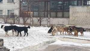 В Брянске большая стая собак оккупировала двор многоэтажки