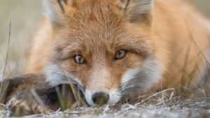 Брянский натуралист Шпиленок снимет на Камчатке фильм о лисах