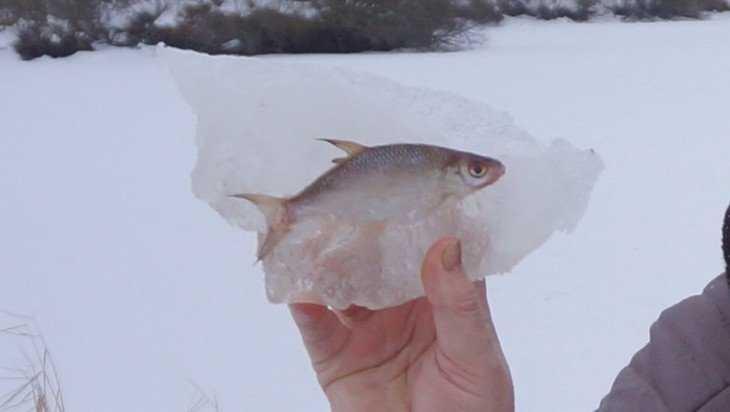 На озере под Брянском рыба заживо вмерзла в лед