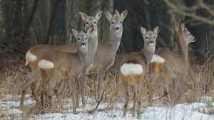 В «Брянском лесу» зимой поубавилось зверей