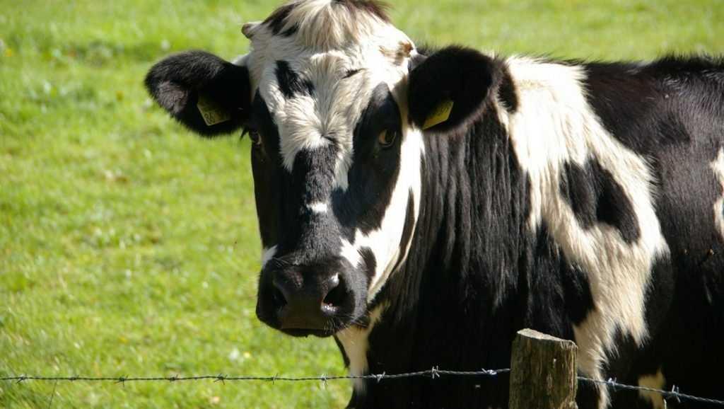 «Брянская мясная компания» ответит за концлагерь для скотины