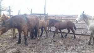 В Унече задержали грузовик с 18 лошадьми без ветеринарных документов