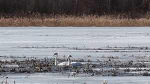 На Негинском озере возле Суземки поселились два лебедя