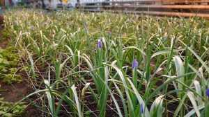 В Брянске высадят весной 250 тысяч цветов