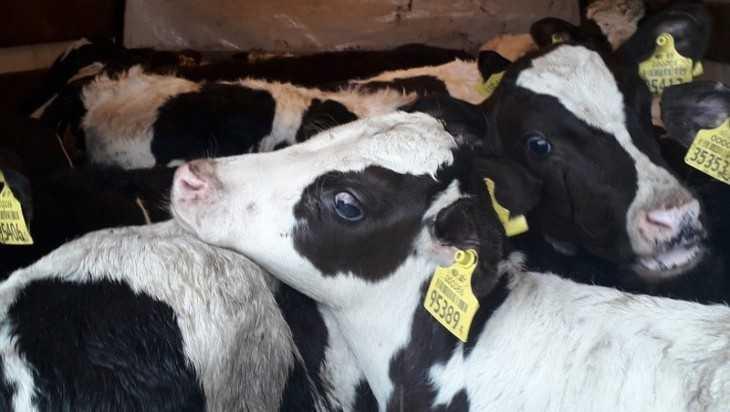 На Брянщину завезли скот без документов