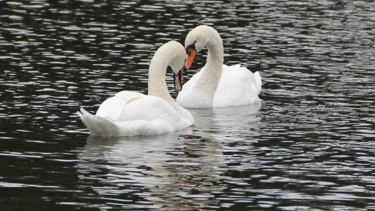 На стародубское озеро вернулись лебеди