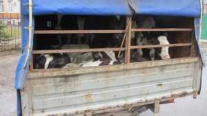 В Клинцовском районе задержали грузовик с 22 телятами