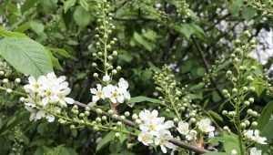 В Брянской области цветущая черемуха принесет резкое похолодание