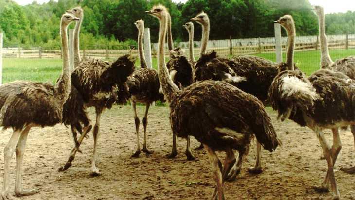 В Стародубском районе создали страусиную ферму