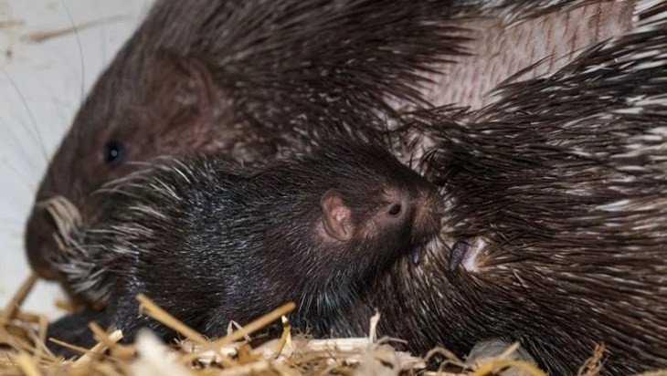 В зоопарке Брянска родились два дикобраза