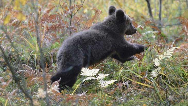 О «Брянском лесе» и его медведях расскажут посетителям Дарвиновского музея