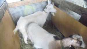На брянской границе задержали украинку с двумя козами