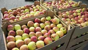 Возле Брянска таможенники остановили грузовик с польскими яблоками