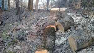 В брянском парке «Соловьи» ради безопасности стали пилить деревья