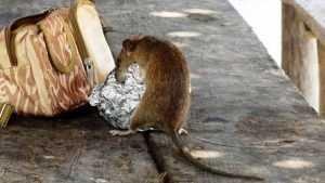 Житель Смоленска заметил крысу в кафе в центре Брянска
