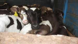 В Брянской области развернули назад три белорусских скотовоза