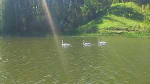 На Телецкое озеро возле Трубчевска прилетели лебеди