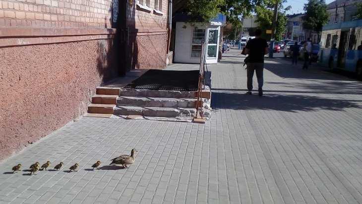 Брянцев взволновал переход утки с птенцами через дорогу
