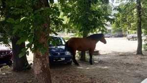 Жителей Брянска развеселила присевшая на автомобиль лошадь
