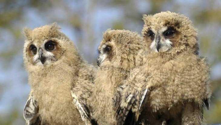 Брянская защитница птиц выпустила на волю трех подлеченных совят