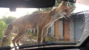 Жителей брянского поселка Белые Берега запугала бешеная лиса