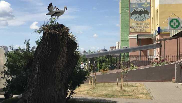В центре Брянска на спиленном тополе поселились доверчивые аисты