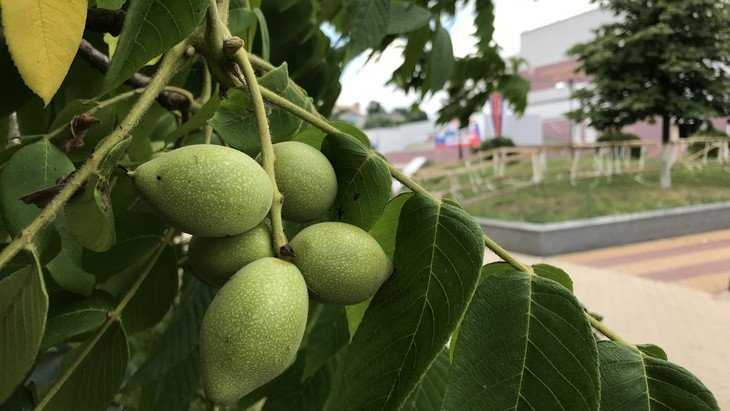 В Брянске на набережной вырос роскошный грецкий орех