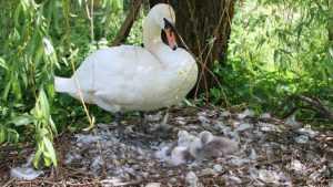 В Овстуге на пруду в усадьбе Тютчева увеличилось семейство лебедей