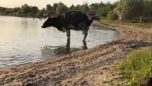 В Брянске коровы опять захватили пляж на озере Орлик-5