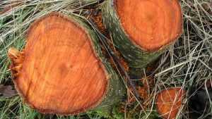 Брянец незаконно срубил в лесу пять деревьев черной ольхи